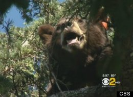 Glen Bear, the 400-pound black bear who frequents Glendale, Calif., was tranquilized and returned to the wild after being spotted in a tree by Glendale neighbors Sunday.