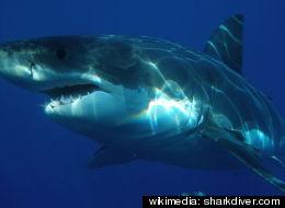 wikimedia: sharkdiver.com