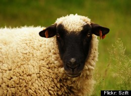 South African sheep farmer Erard Louw is sick of dealing with sheep thefts so he has attached cellphones to four sheep that are set to contact him if there is a disturbance.