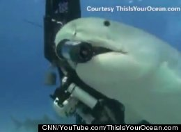 This 14-foot long tiger shark named Emma tried to swim off with a $15,000 camera.