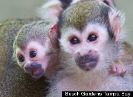 A baby squirrel monkey joins two other new arrivals, a baby giant anteater and kangaroo, at Busch Gardens Tampa Bay