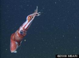 An Octopoteuthis deletron squid abandoned its arms in self-defense after it alighted on a bottle brush left out by biologists.