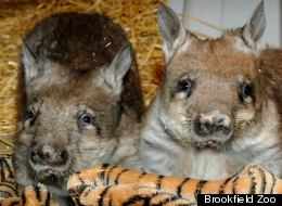 Two wombats staying at Brookfield Zoo temporarily before relocating to Toronto.