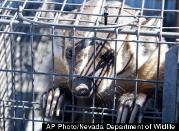 A badger escaped a tranquilizer dart and sought refuge in a Nevada store, prompting a standoff between customers and the animal until animal control officers arrived with a baited cage.