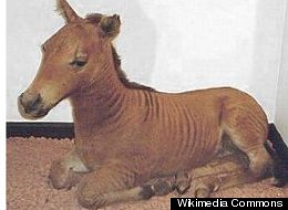 Bet you can guess what a zorse is.