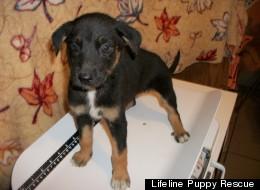 Lifeline Puppy Rescue