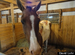 Police in Pennsylvania are trying to determine who doused this horse with a flammable substance and set it on fire.