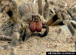 Brazilian wandering spider toxin may help treat erectile dysfunction in humans.