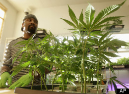 In this Feb. 1, 2011 file photo, employee Gerard Barber stands behind medical marijuana clone plants at Harborside Health Center in Oakland, Calif.