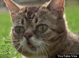 'Lil Bub & Friendz' will explore the phenomenon of Internet cat videos, using Lil Bub as a protagonist.