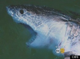 A great white shark was caught by an angler who was fishing for bat rays on the Manhattan Beach Pier; when it was released, it swam right under a swimmer, according to aquarium director Eric Martin.