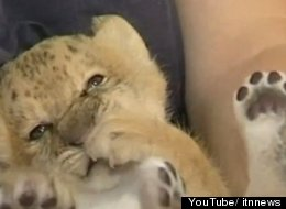 Kiara, the world's first liliger, was born in a Russian zoo in August.