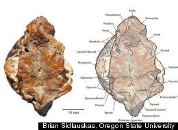 Brian Sidlauskas, Oregon State University
