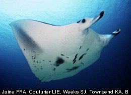 Manta rays keep clean with the help of