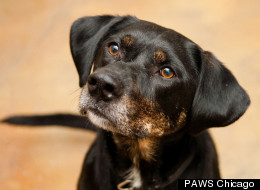 Speckles, a 6-year-old Labrador/Hound mix, is one of many local pets anxiously awaiting a forever home in Chicago.