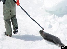 The Canadian Sealers Association is slamming European politicians for allowing seals to be killed within their own waters, while banning Canadian seal products. (AP)