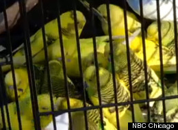 Some of the more than 300 live birds taken from the Aurora, Ill. animal hoarder's home Friday.
