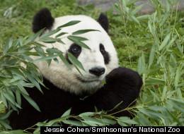 animals panda -  The Panda population has increased by 17%.