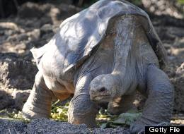 Lonesome George, the last known individual of the Pinta Island Tortoise, is pictured at Galapagos National Park's breeding center in Puerto Ayora, Santa Cruz island, Galapagos on March 18, 2009. (RODRIGO BUENDIA/AFP/Getty Images)