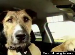 This driving dog passed his test!