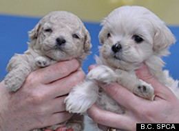 A Victoria-area man's 45 miniature poodle-bichon frise cross dogs were sized by B.C. SPCA after concerns were raised about the pets' care. (B.C. SPCA)