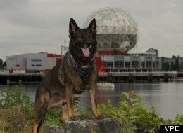 Teak, a Vancouver police dog, is recovering from serious injuries after being stabbed by a robbery suspect. (Vancouver Police)