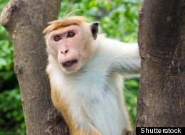 B.C. conservation officers are allegedly chasing a monkey on Vancouver Island. This is not the monkey in question. (Shutterstock)