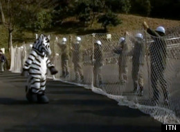 A Japanese zoo put one of their staff members in a zebra costume for a drill.