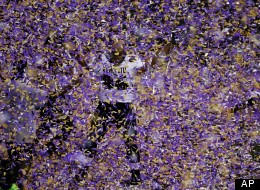 Baltimore Ravens nose tackle Ma'ake Kemoeatu (96) celebrates after the NFL Super Bowl XLVII football game against the San Francisco 49ers, Sunday, Feb. 3, 2013, in New Orleans. The Ravens won 34-31. (AP Photo/Charlie Riedel)