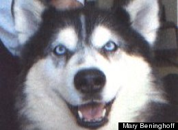 Zena, an Alaskan malamute, was adopted from an animal shelter multiple times, but kept escaping from her new homes and finding her way back to her favorite volunteer at the shelter.