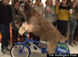 Norman, a 3-year-old French sheepdog, came to HuffPost Wednesday to ride a bike, a scooter and a skateboard.