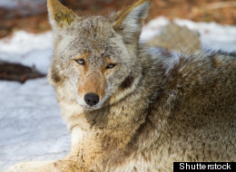 A coyote, not pictured, was shot and killed by police officers Monday night in a wooded area in Toronto's Cabbagetown neighbourhood. (Shutterstock)