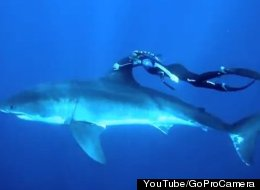 Free Diver Ocean Ramsey was recently filmed swimming with a great white shark as part of a promotion for the HD video camera company GoPro.